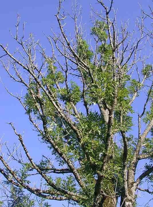 Ash dieback diseased tree image