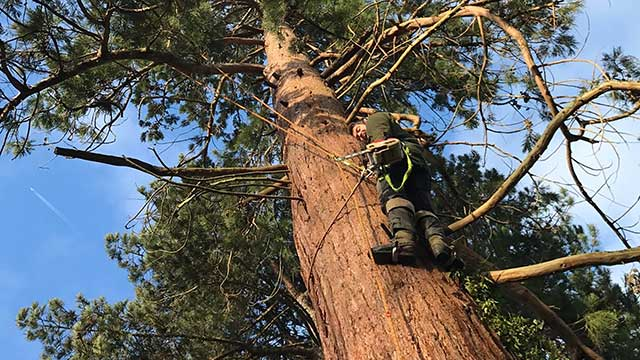 Sussex Tree Surgeons climbing up tree to carry out tree work