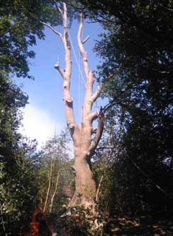 Tree being cut down with stabilising ropes