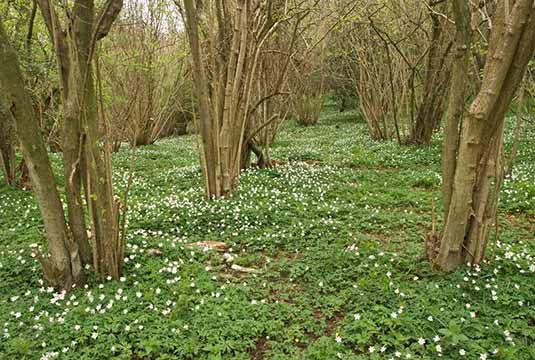 Coppiced woodland environment