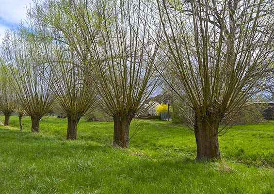 Row of pollarded willow trees