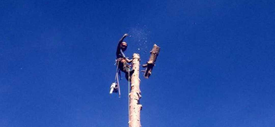 Arborist up a tree throwing down cut wood