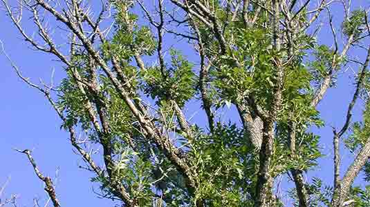 Ash dieback diseased tree image